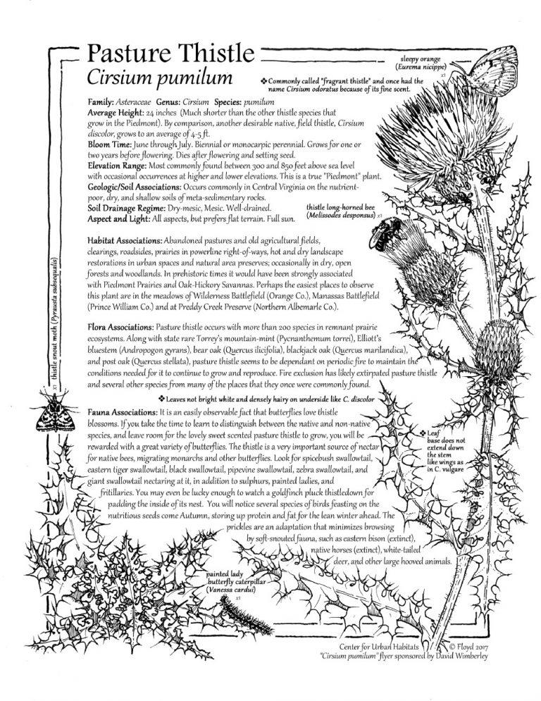 thumbnail of Cirsium pumilum