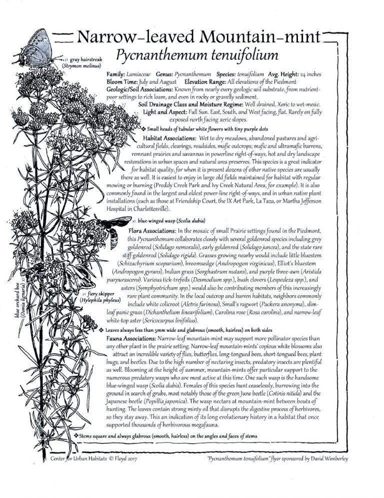 thumbnail of Pycnanthemum tenuifolium