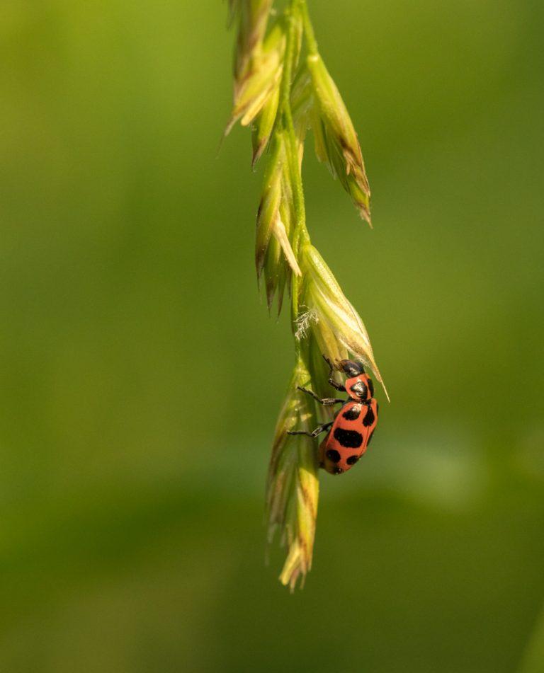 Coleomegilla maculata lengi