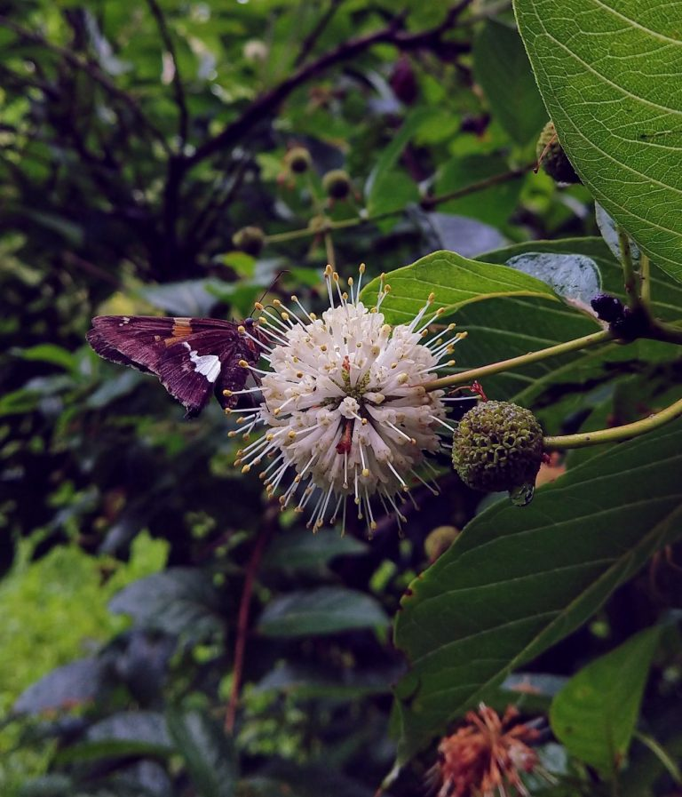 Adult silver spotted skipper (Epargyreus clarus) nectaring on the spherical flower of a buttonbush (Cephalanthus occidentalis)