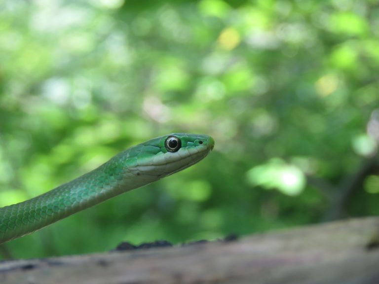 Rough green snake, closeup photo