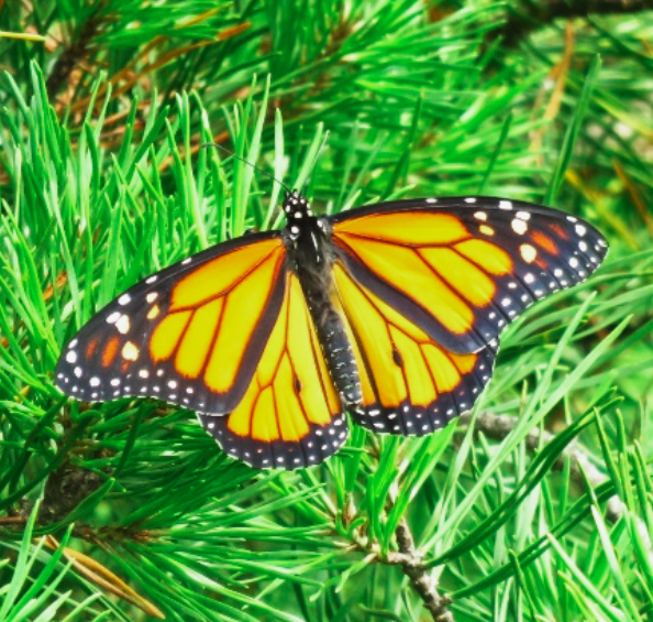 Monarch butterfly resting on a Virginia pine sapling in a Piedmont Prairie.