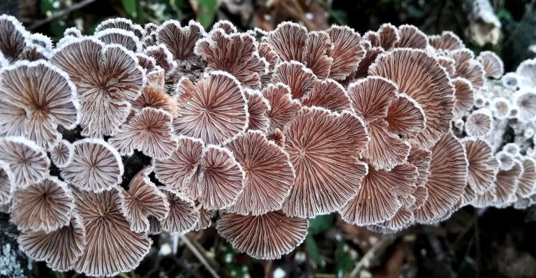 Schizophyllum commune (split-gill mushroom) from above
